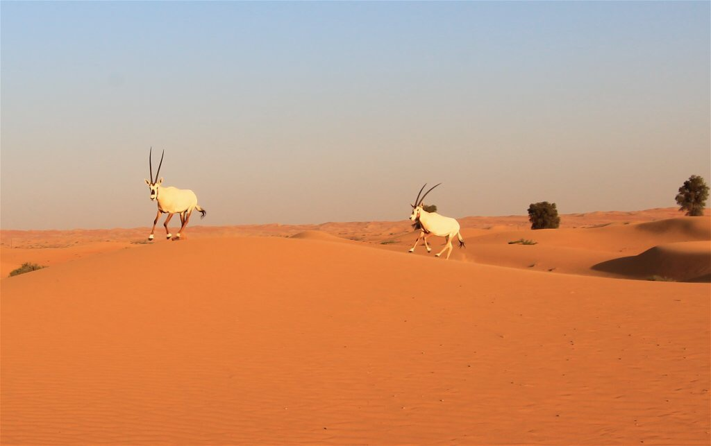 Dubai Arabian Oryx from a Desert Tour