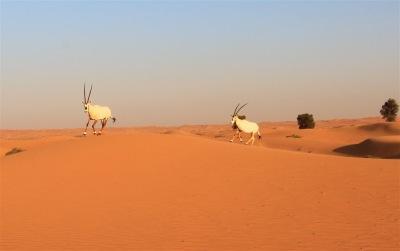Dubai Arabian Oryx from a Desert Tour