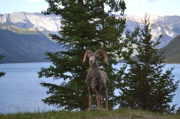 top-things-to-do-in-canada-goat